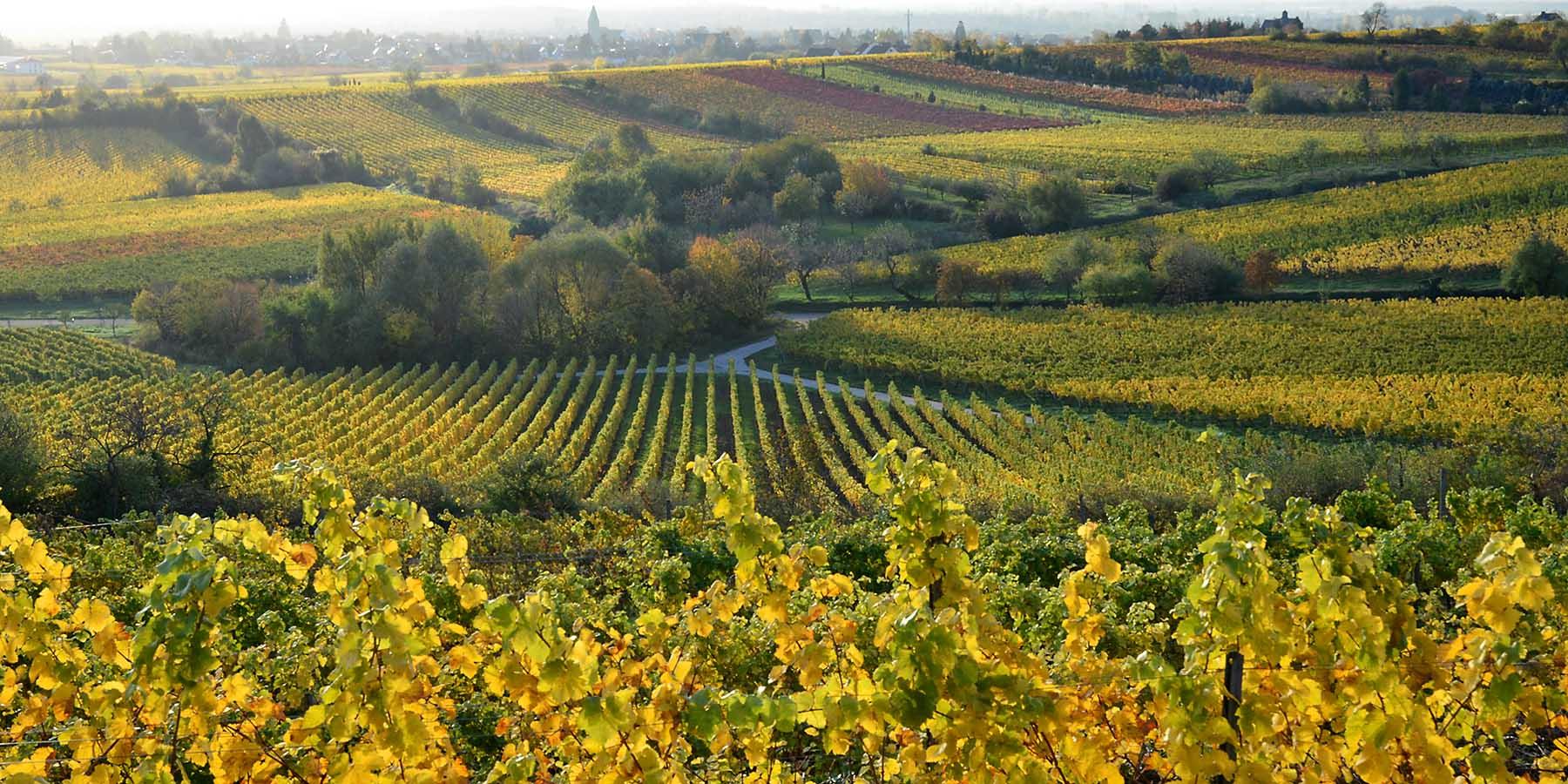 Weinlagen im Herbst rund um Gimmeldingen